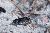 "Cicindela scutellaris ""modesta"", Festive Tiger Beetle; Ocean County, New Jersey 2014-09-14   4"