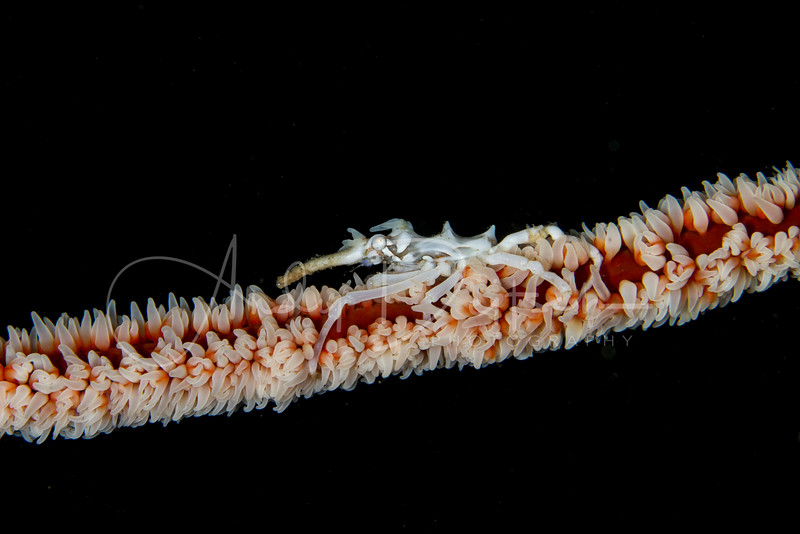 Xeno Crab on Whip Coral
