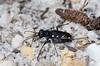 Cicindela patruela consentanea, Pine Barrens Tiger Beetle; Ocean County, New Jersey 2014-09-14   1