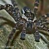 Brownish-gray Fishing Spider