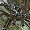 Brownish-gray Fishing Spider