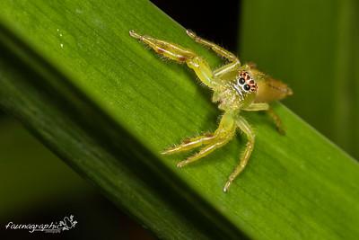 Monkey Faced Spider