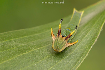 Tailed Emperor Butterfly Caterpillar