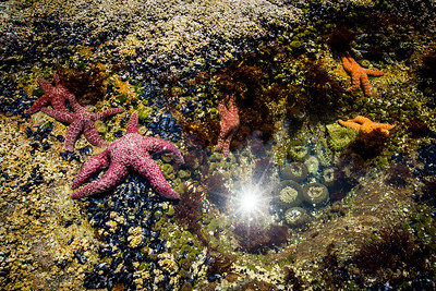Ochre starfish (Pisaster ochraceus), Goose barnacles (Pollicipes polymerus) and California mussel (Mytilus californianus), rock pool, Vancouver Island, British Columbia