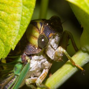 Peeking cicada