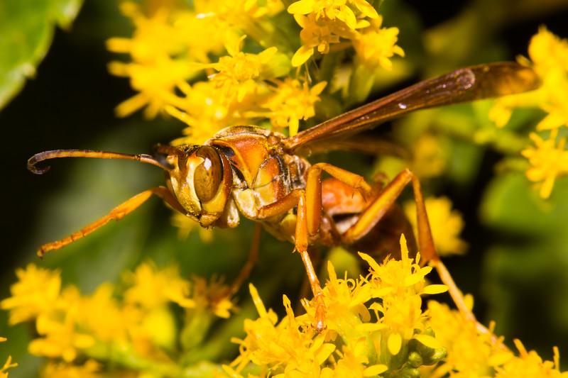 Wasp (Polistes sp?)