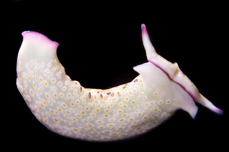 Plakobranchus ocellatus sea slug.