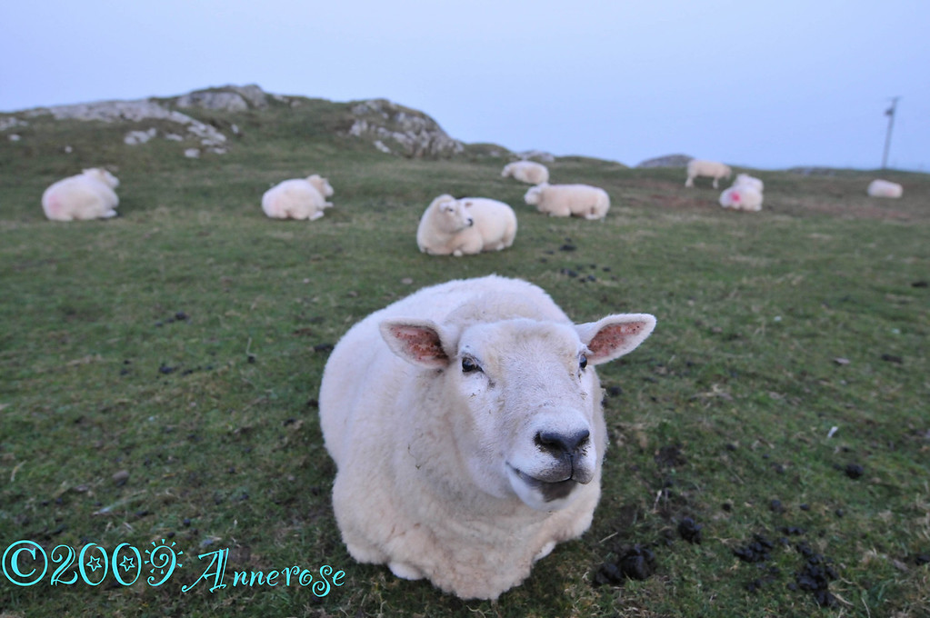 Sheep in Iona