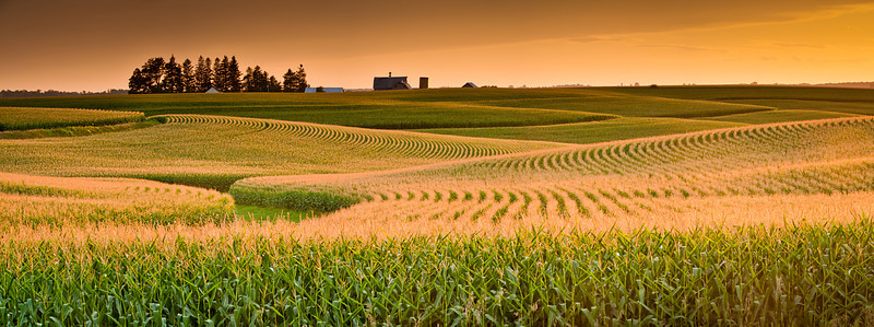 Cornfield at sunset