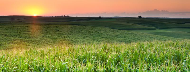 Peaking sun over rolling corn field