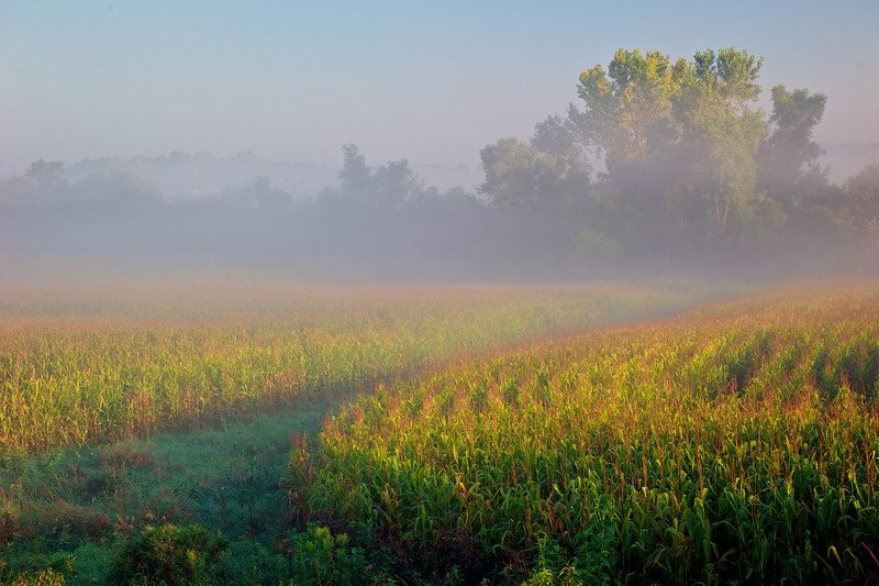 Morning light and fog on corn field