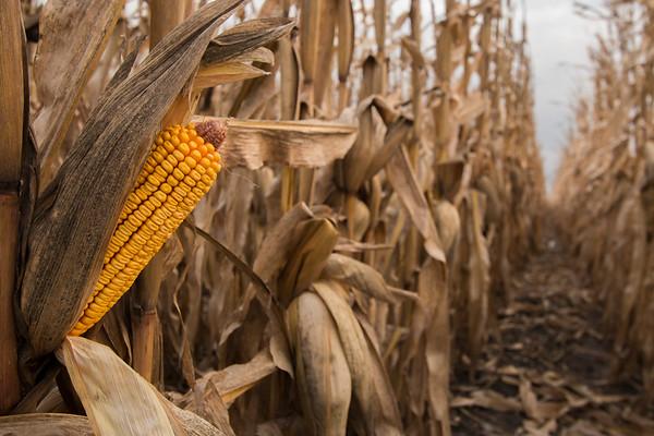 Harvest fields - hamilton county, north central iowa