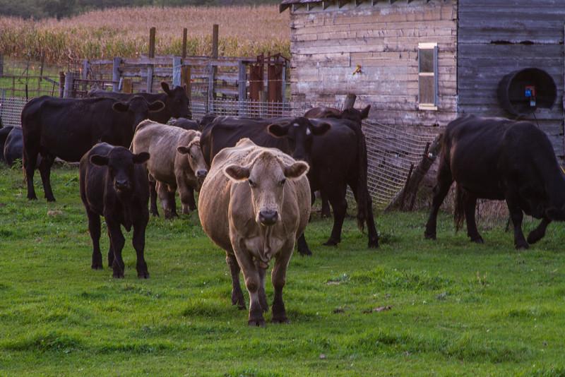 Angus and Charolais Cows on a Farm Near Nevada, Iowa