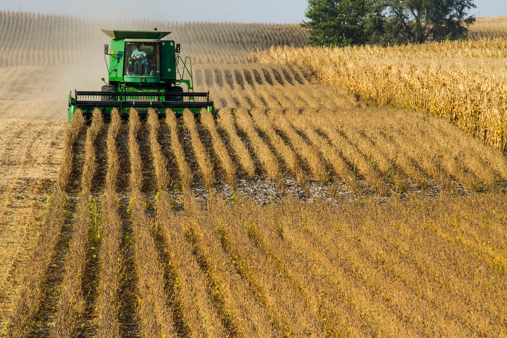 Soybean Harvest in Hamilton County, Iowa