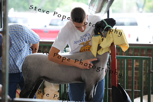 Justin Swanton, 15, of Gooselake, prepares his sheep for show at the Iowa State Fair on Aug. 8. (Iowa State Fair/ Steve Pope Photography)