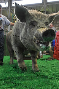 Big Mac, raised by McDonald Acres, of Ryan, parades around at the Iowa State Fair's Big Boar Competition on Aug. 7. Big Mac earned second place in the competition. (Iowa State Fair/ Steve Pope Photography)