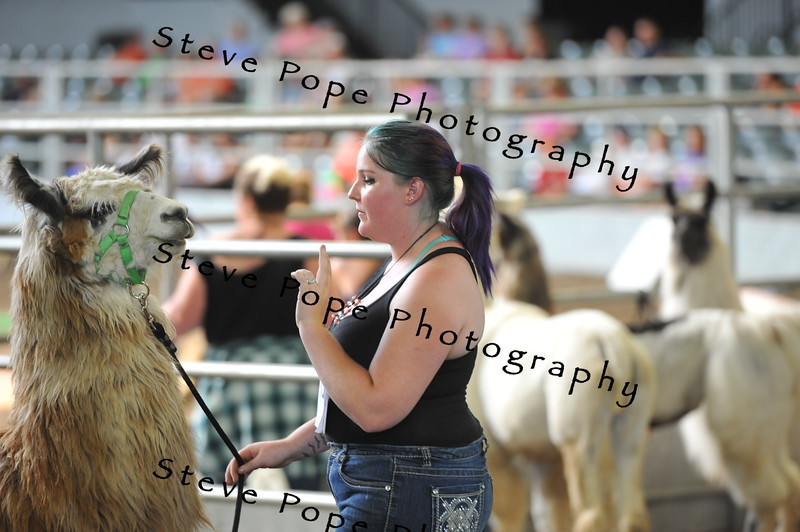 Aspen Auld, of Calmar, talks a llama through an obstacle course at the Iowa State Fair on Aug. 20. (Iowa State Fair/ Steve Pope Photography)