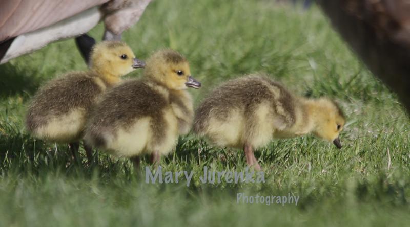 Spring Babies at Iowa State University