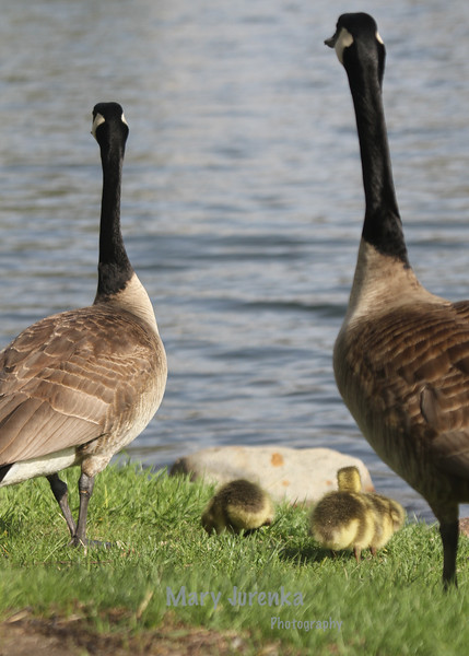 Canada Geese Family at Lake Laverne
