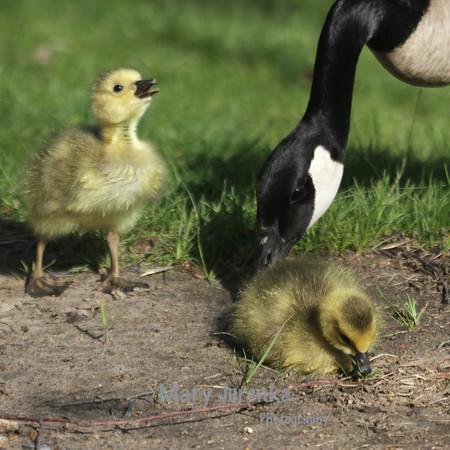 Iowa State University  Spring Babies!