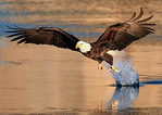 Bald Eagles of Iowa : CLICK ON PHOTO TO VIEW LARGER VERSION