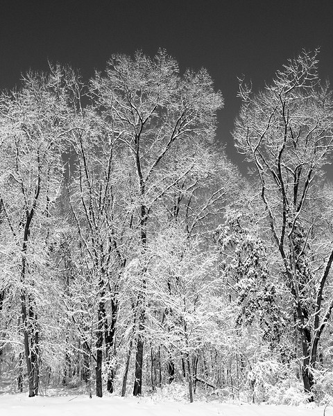 Snow covered trees in B&W