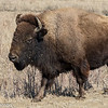 2018-03-03 bison 11 leisurely walking after a run