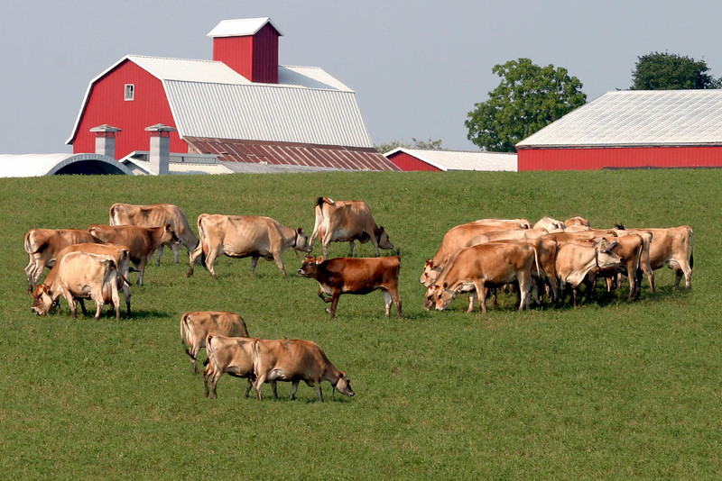 Cows out to Pasture, Johnson County, IA