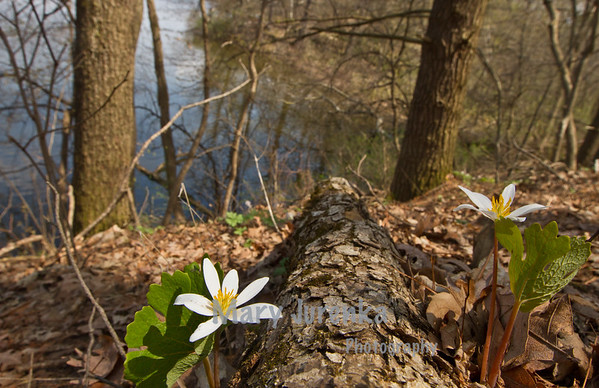 bloodroot growing above Pine Lake in Eldora, Iowa, water