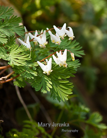 Dutchman's Breeches Iowa Spring Wildflowers 2014