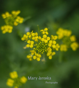 Iowa Spring Wildflowers 2014