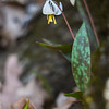This Trout Lily was photographed in Inis Grove Park in Ames, Iowa.