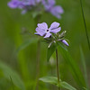 This Wild Phlox was shot in Paterson Park in Ames, Iowa. Iowa Spring Wildflowers 2014