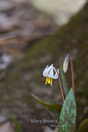 This Trout Lily was photographed in Inis Grove Park in Ames, Iowa. Iowa Spring Wildflowers 2014