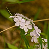 Wild phlox photographed at Inis Grove Park in Ames, Iowa Iowa Spring Wildflowers 2014