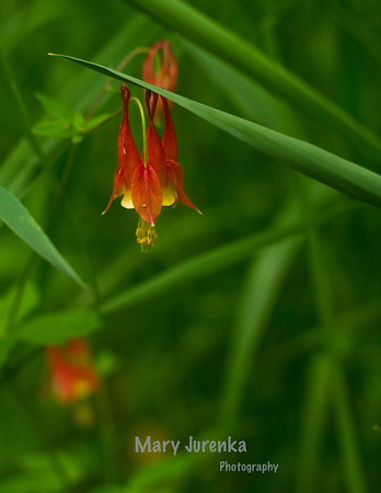 Wild Columbine growing along Skunk River in Iowa- This was taken at Inis Grove Park in Ames, Iowa. Iowa Spring Wildflowers 2014