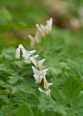 Dutchman's Breeches, early spring wildflower, is found in wooded areas. Iowa Spring Wildflowers 2014