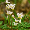 Dutchman's Breeches-shot at Robeson Wildlife Acres in Nevada, Iowa.