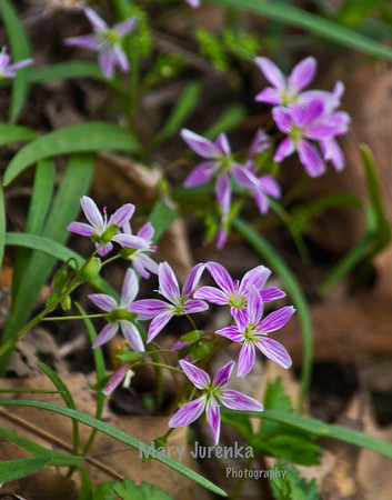 Spring Beauty is found in wooded areas in early Spring. This picture was taken in Peterson Park near Ames Iowa. Iowa Spring Wildflowers 2014