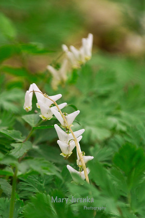 Dutchman's Breeches-shot at Robeson Wildlife Acres in Nevada, Iowa. Iowa Spring Wildflowers 2014