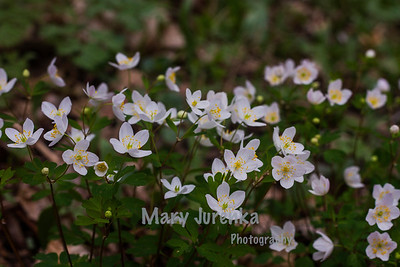 Iowa Spring Wildflowers 2014