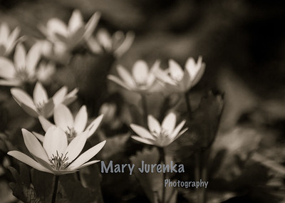 Iowa Spring Wildflowers-bloodroot split toned.  This photo was taken at Inis Grove Park in Ames, Iowa Iowa Spring Wildflowers 2014