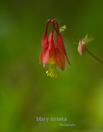 Wild Columbine growing along Skunk River in Ames, Iowa - This was taken at Inis Grove Park in Ames, Iowa. Iowa Spring Wildflowers 2014