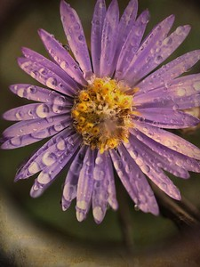 New Year's Aster