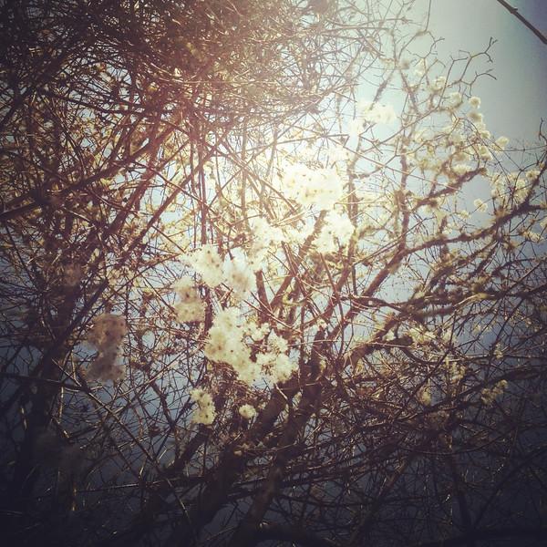 White Flower Redwood Forest