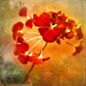 'Red Geranium'