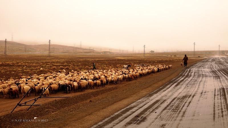 Herding Sheep in NW Iran, 2016