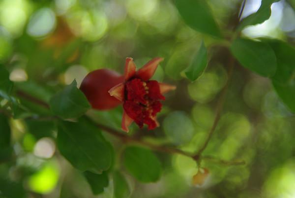 Ogród botaniczny w Shirazie - granat, jeszcze niedojrzaly