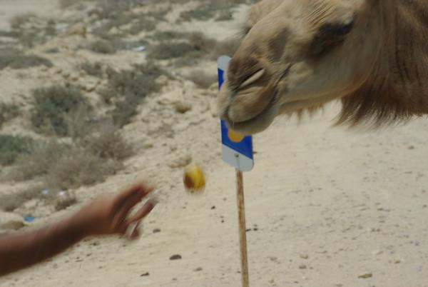 Karmienie wielbłądów - najpierw rzut...