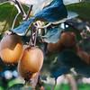In Azim's kiwi grove